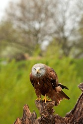 Red kite, bird of prey portrait. The bird is sitting on a stump. Ready to attack its prey in the rain