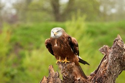 Red kite, bird of prey portrait. The bird is sitting on a stump. Ready to attack its prey. In the rain, detailled