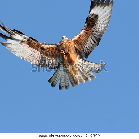 Red Kite eagle about to land.
