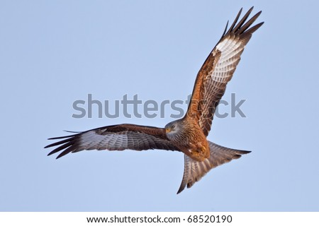 Red Kite Eagle in blue sky - direct frontal