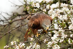 Red kite, in a tree with white blossom. Bird of prey portrait with yellow bill and red plumage and blue gray head. Bird of prey looking at the ground