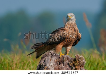 Red Kite in the afternoon sun