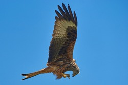 Red Kite (Milvus milvus) feeding from food held in its talons whilst flying.