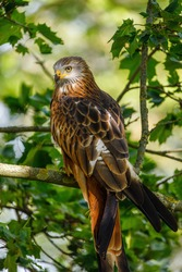Red kite, Milvus milvus, perched on branch covered by green leaves. Endangered bird of prey with red feather. Cute bird with beautiful eyes and feather. Wildlife scene. Habitat Europe, Africa.