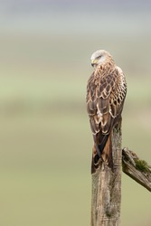 Red Kite perched on a fence post looking over shoulder with gree