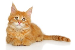 Red kitten Maine Coon resting on a white background