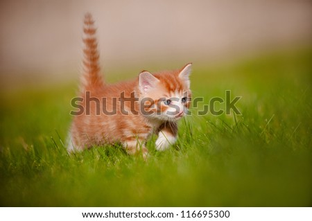 red kitten outdoors hunting