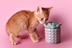 Red kitten sniffing cactus. Cute ginger small cat sniffs a succulent in grey clay pot on pink background. Pets and plants, discovering the world concept