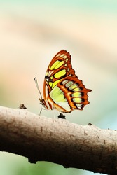 Red lacewing butterfly (lat. Cethosia biblis) resting on branch