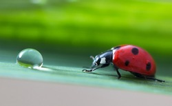 Red ladybug close-up with magical nature background. Ladybug crawls on a green leaf of a plant to a dew drop with reflection. Springtime small world. After the rain