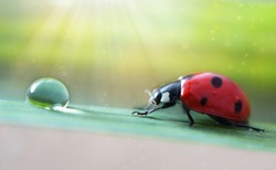 Red ladybug close-up with magical nature background with glowing rays. Ladybug crawls on a green leaf of a plant to a dew drop with reflection. Springtime small world. After the rain