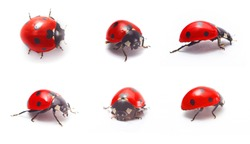 Red ladybug isolated on white background. Closeup