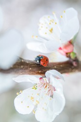 Red ladybug on a branch of blooming apricot tree among blossom flowers close up vertical