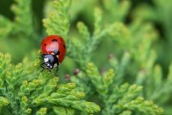Red ladybug on a spruce branch