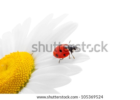Red ladybug on chamomile
