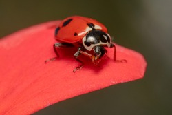 Red ladybug sitting on a petal of a red rose scratching its mouth