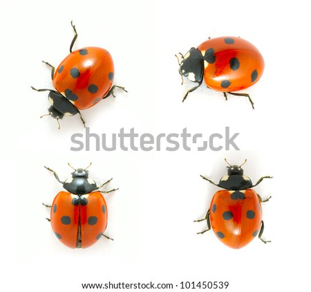 red ladybugs isolated on the white