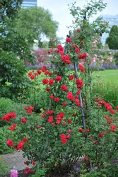 Red large-flowered Climber rose (Rosa) Blaze blooms in a garden in June
