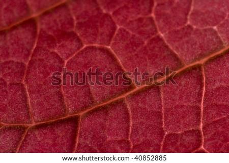 Red leaf close-up
