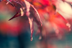 red leaf maple with water