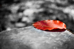 Red leaf on black and white background