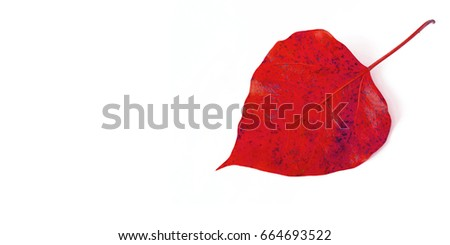 Red leaf or red leaf isolated