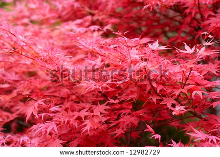 Red leaf texture - maple tree leafs