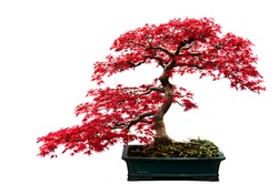Red-leafed bonsai tree isolated on a white background.