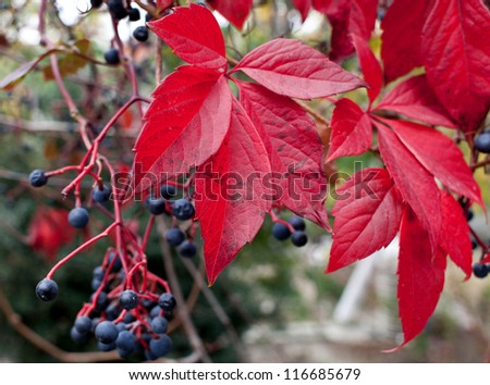 Red leafs and berry