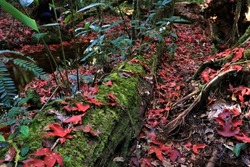 red leave fall forest, Travel lifestyle concept, fallen red meple leaves