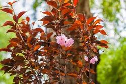 Red-leaved small-leaved cherry tree Royal Burgundy (Prunus serrulata ' Royal) The tree is in bloom. Spring flowering season. Nature and gardens.