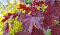 Red leaves Acer platanoides 'Crimson King 'Crimson King