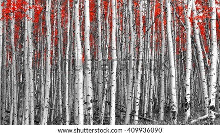 Red leaves in a black and white forest landscape #409936090