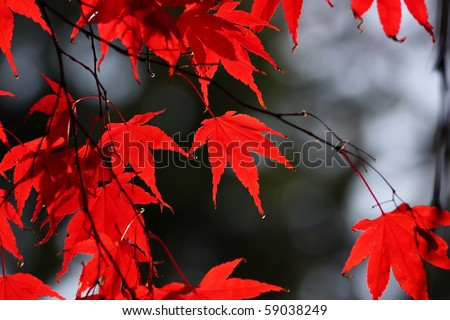Red leaves in autumn - stock photo