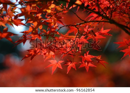 red leaves in autumn #96162854