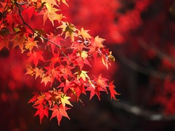 Red leaves maple in autumn at Kyoto