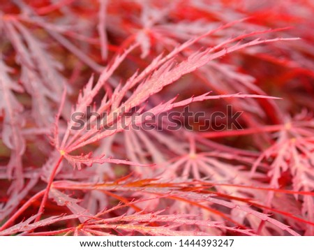 Red leaves of a Japanese Maple tree #1444393247