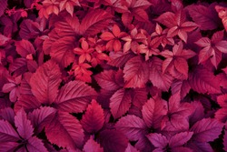 Red leaves of nature plants. Abstract autum background