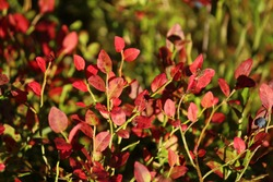 red leaves on a blueberry bush in the forest against a background of grass