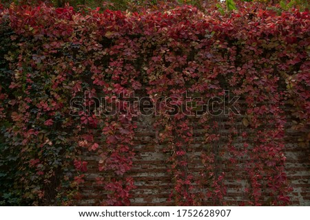 Red leaves on the wall in the park in Cracow, Malopolskie, Poland. Zdjęcia stock ©