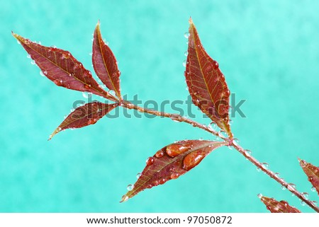 Red Leaves with Dew Drops