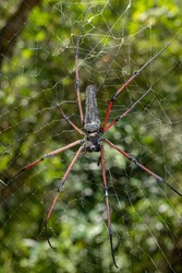 Red-legged golden orb-weaver spider, a species of Orb weavers Also known as: Red-legged nephila Scientific name: Nephila inaurata.