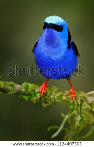 Red-legged Honeycreeper, Cyanerpes cyaneus, exotic tropical blue bird with red legs from Costa Rica. Tinny songbird in the nature habitat. Tanager birdwatching in South America.