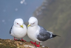 Red-legged Kittiwake (Rissa brevirostris) at St. George Island, Pribilof Islands, Alaska, USA