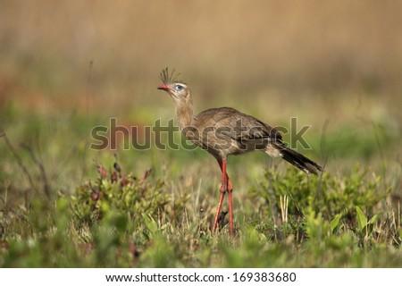 Red-legged seriema,  Cariama cristata, single bird on grass, Brazil