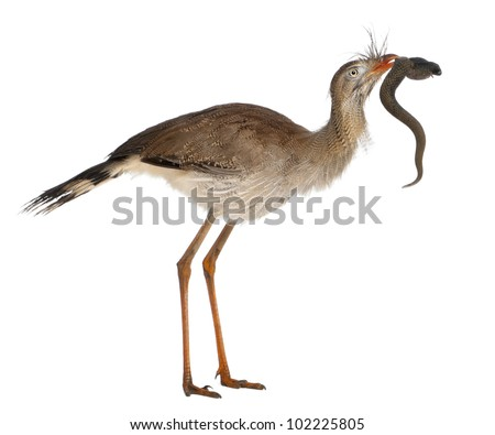 Red-legged Seriema or Crested Cariama, Cariama cristata, holding toy snake in front of white background