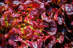 Red Lettuce leaves on garden beds in the vegetable field. Gardening  background with Salad plants in open ground, close up. Lactuca sativa purple leaves, closeup. Leaf Lettuce in garden bed