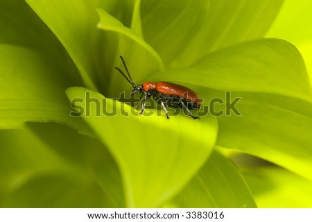 Red lily leaf beetle bug insect on green leafs