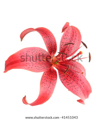 Red lily on a white background, it is isolated.