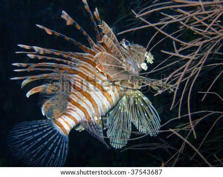 Red lion fish, Ari Atoll, Mirihi, Maldives